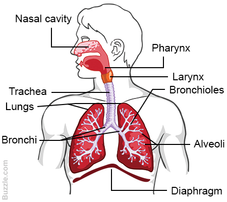 The Respiratory System The Human Body